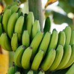 Receitas: Biomassa de Banana Verde